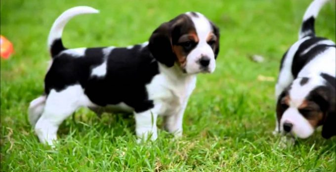 10 Dog Breeds Most Compatible With Beagliers
