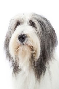 10 Dog Breeds Most Compatible With Bearded Collies