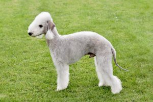 10 Dog Breeds Most Compatible With Bedlington Terriers