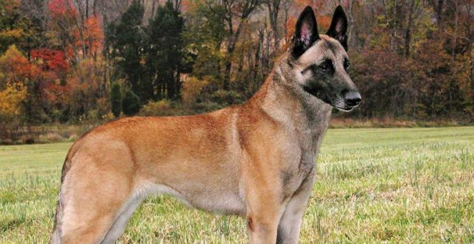 10 Dog Breeds Most Compatible With Belgian Malinois