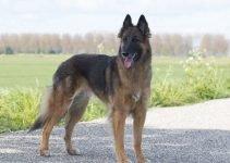 10 Dog Breeds Most Compatible with Belgian Tervuren