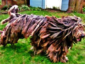 10 Dog Breeds Most Compatible With Bergamasco Sheepdogs