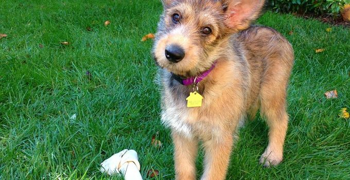 10 Dog Breeds Most Compatible With Berger Picards