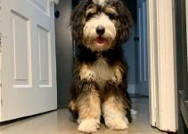 10 Dog Breeds Most Compatible with Bernedoodles