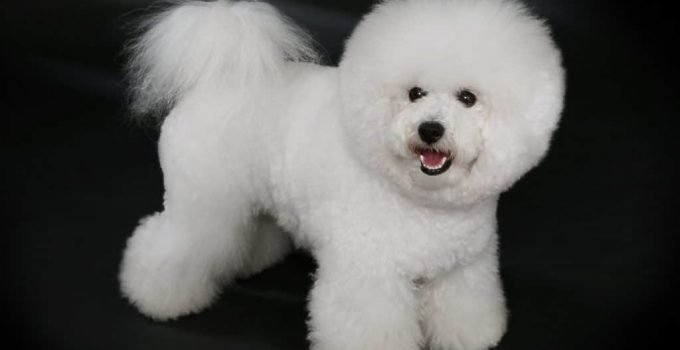 10 Dog Breeds Most Compatible With Bichon Frises