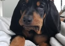 10 Dog Breeds Most Compatible with Black and Tan Coonhounds