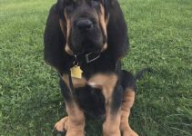 10 Dog Breeds Most Compatible with Bloodhounds