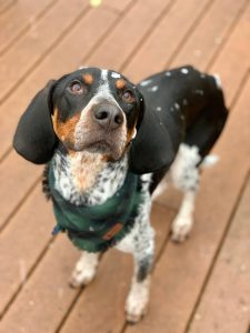 10 Dog Breeds Most Compatible With Bluetick Coonhounds