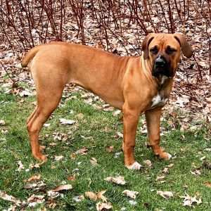 10 Dog Breeds Most Compatible With Boerboels