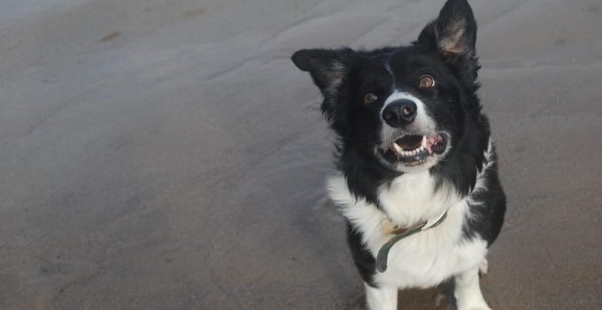 10 Dog Breeds Most Compatible With Border Collies