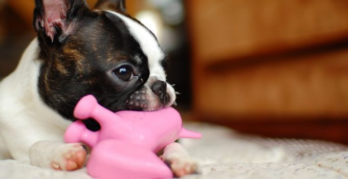 10 Dog Breeds Most Compatible With Boston Terriers