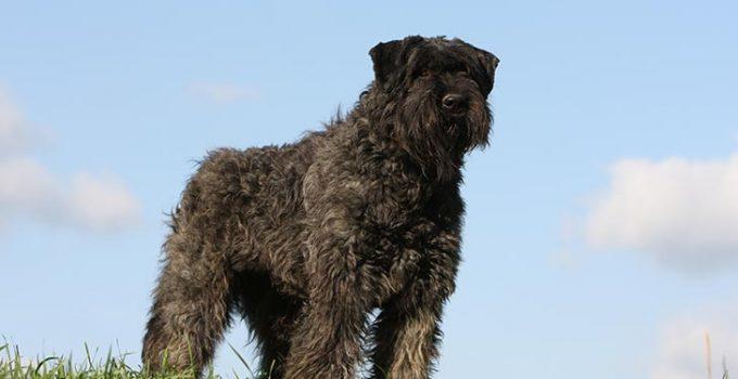 10 Dog Breeds Most Compatible With Bouviers Des Flandre
