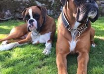 10 Dog Breeds Most Compatible with Boxador