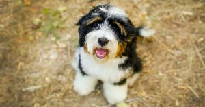 10 Dog Breeds Most Compatible With Boxerdoodle
