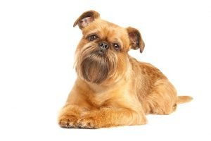 10 Dog Breeds Most Compatible With Brussels Griffon