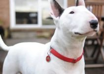 10 Dog Breeds Most Compatible with Bull Terriers