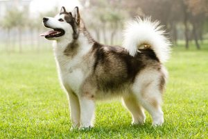 10 Dog Breeds Most compatible with Alaskan Malamutes