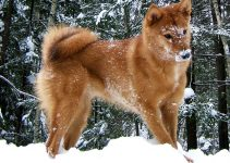 5 Best Dog Products For Karelo-Finnish Laika (Reviews Updated 2021)
