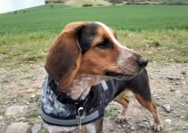 5 Best Dog Products For Kerry Beagle (Reviews Updated 2021)