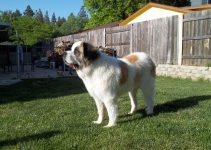 5 Best Dog Products For Saint Pyrenees (Reviews Updated 2021)