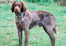 5 Best Dog Products For Saint Usuge Spaniels (Reviews Updated 2021)