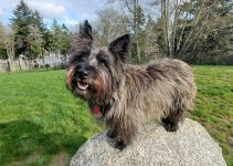5 Best Dog Products For Scottish-Skye Terriers (Reviews Updated 2021)