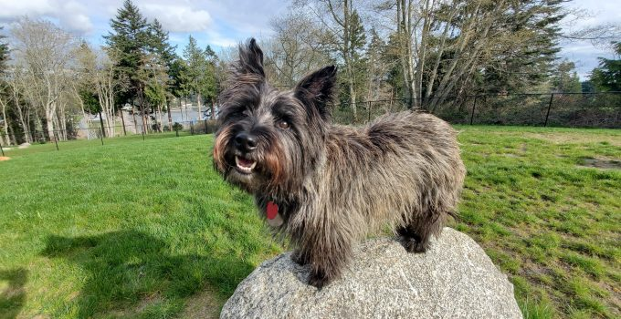 Best Dog Products For Scottish Skye Terriers