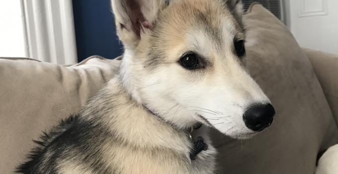 Best Dog Products For Seppala Siberian Sleddog