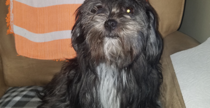 Best Dog Products For Shih Apso