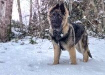 5 Best Dog Products For Shiloh Shepherds (Reviews Updated 2021)