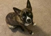 5 Best Dog Products For Siberian Boston (Reviews Updated 2021)
