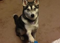 5 Best Dog Products For Siberian Shiba (Reviews Updated 2021)