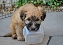 5 Best Dog Products For Soft-Coated Wheaten Terriers (Reviews Updated 2021)