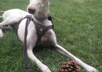 5 Best Dog Products For Spanish Greyhounds (Reviews Updated 2021)