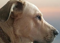 5 Best Dog Products For Spanish Mastiff (Reviews Updated 2021)