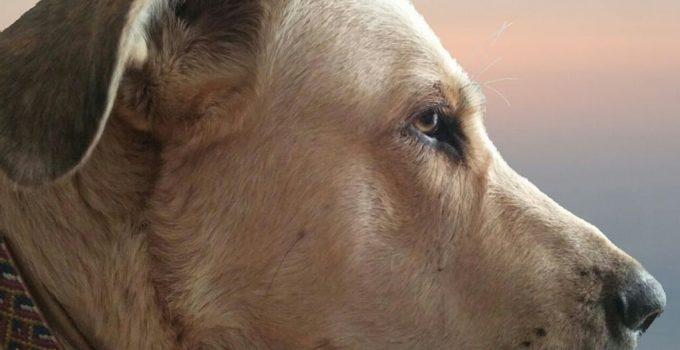 Best Dog Products For Spanish Mastiff
