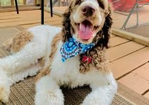 5 Best Dog Products For Springerdoodle (Reviews Updated 2021)