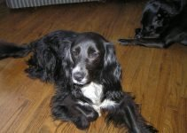 5 Best Dog Products For Sprocker Spaniels (Reviews Updated 2021)