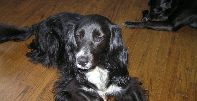 Best Dog Products For Sprocker Spaniels