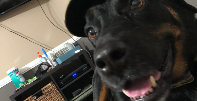 Best Dog Products For Staffweiler