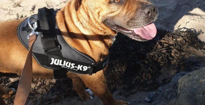 Best Dog Products For Staffy Bull Bullmastiff