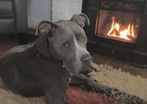 5 Best Dog Products For Staffy Bull Pit (Reviews Updated 2021)