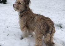 5 Best Dog Products For Standard Auss-Tzu (Reviews Updated 2021)