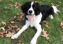 5 Best Dog Products For Standard Border Schnollie (Reviews Updated 2021)