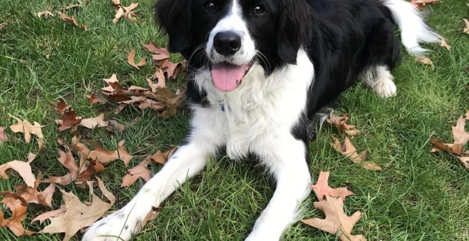 Best Dog Products For Standard Border Schnollie