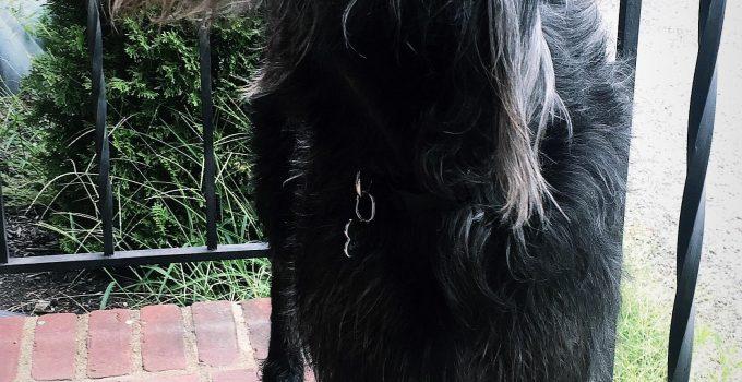 Best Dog Products For Standard Irish Wolf Schnauzer
