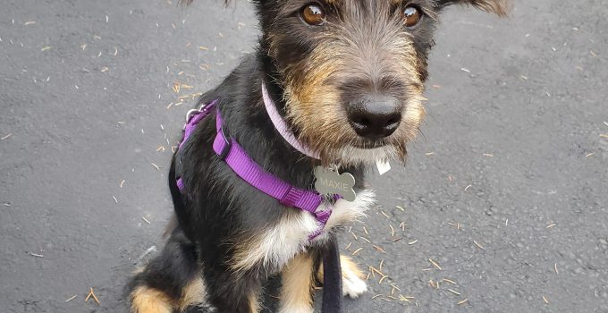 Best Dog Products For Standard Wire Hair Snauzer