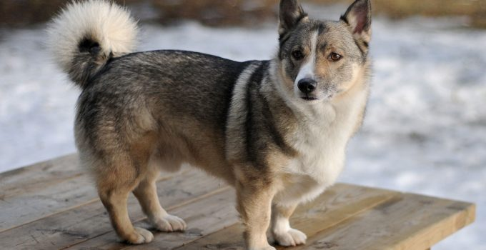 Best Dog Products For Swedish Cattle Dogs