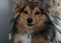 5 Best Dog Products for Sheltie-Kees (Reviews Updated 2021)