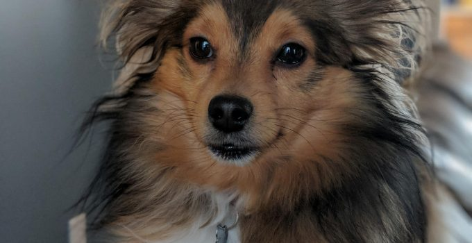 Best Dog Products For Sheltie Kees